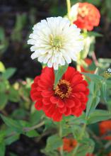 A single white flower and a red flower are pictured above a green background.