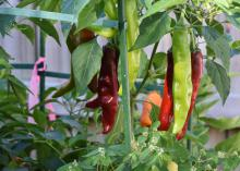 Long, narrow, colorful peppers hang from a plant.