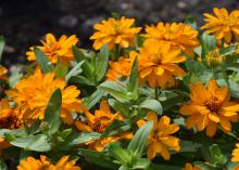 Orange blooms cover the top of a green plant.
