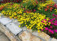 A group of yellow flowers cascades over a rock wall in a garden with pink and orange flowers.