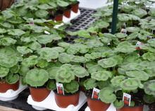 Small pots of geraniums show the circular, green foliage with darker green circles that ring the outer edge.