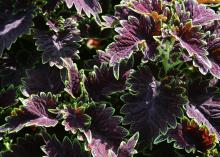 A bushy plant is covered with deep-purple leaves that are edged in bright green.