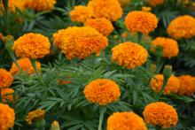 Lush, orange blooms rise above dark green leaves.