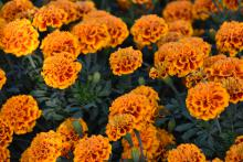 Rounded, ruffled flowers in orange and red cover green foliage.
