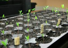A black tray of soil holds tiny sprouts rising on slender stems.