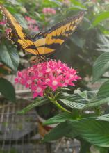 A yellow and black butterfly rests on a cluster of pink blooms.