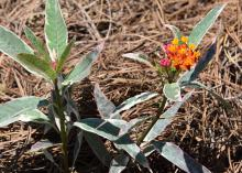 Two plant stems rise from pine straw, one with a small cluster of red, orange and yellow flowers.