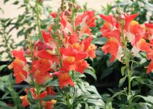 Orange flowers are arranged in rows on vertical stems.