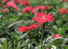 An individual red bloom is in focus in front of other, scattered red blooms.
