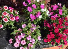 Four plants grow in a container and display red, purple and multicolored blooms.