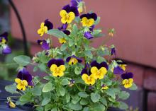 Flowers with deep-purple petals on top and yellow petals on the bottom cover a small plant.