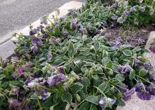 Frost covers ground-hugging plants with purple blooms.
