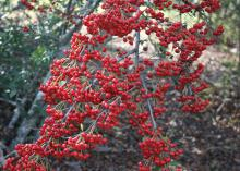 A small, bare branch is covered by hundreds of tiny red berries.