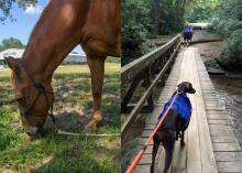 Side-by-side composite of horse grazing and a dog on a leash walking on a bridge.