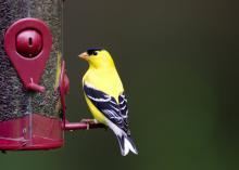 An American goldfinch sits on a bird feeder.