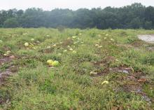 Ruined watermelons lie in a muddy field.