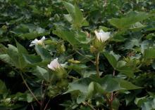 Close-up of a cotton plant.