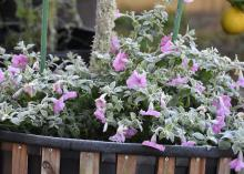 Frost covers purple blooms on green foliage growing in a container.
