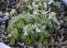 A few purple flowers can be seen on a small plant covered in frost.