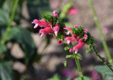 Tiny pink blooms emerge along a green spike.