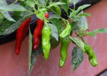 Narrow red and green peppers hang from a green plant.