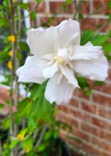 A single white bloom has several overlapping petals.