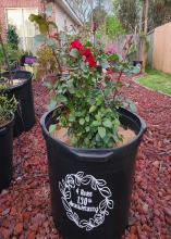 A black pot holding a rose plant has white lettering and design.