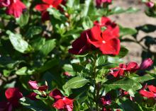 Red flowers bloom on a green plant.