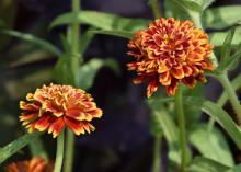 Orange and yellow blooms rise among green foliage.