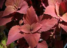 Large and small red leaves have ruffled edges.