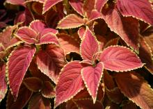 Red leaves have lime-green edging.