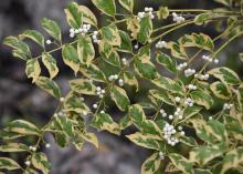 Small clusters of white berries line a branch with variegated green leaves.