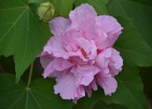 A single pink bloom is surrounded by green leaves.