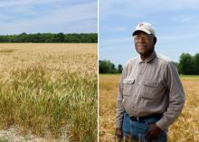 Mississippi's growers harvested about 80,000 acres of wheat and averaged 58 bushels per acre in 2016. These amber waves of grain (left) are in a Coahoma County, Mississippi, field on May 23, 2016. David Wade (right) knows his Coahoma County, Mississippi, wheat would have produced better yields if persistent spring rains had not stunted the crop's development. He is standing in his wheat field on May 23, 2016, shortly before harvest. (Photos by MSU Extension Service/Kevin Hudson)