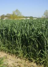 Wheat is shown growing in a R.R. Foil Plant Science Research Center test plot at Mississippi State University April 6, 2016. Due to poor planting conditions and a saturated market last fall, producers planted only 90,000 acres of the state's winter crop, which is less than half of the 200,000-acre average. (Photo by MSU Extension Service/Kevin Hudson)