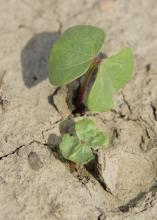 Good planting weather in mid-May is allowing Mississippi cotton growers to get the crop planted quickly. This seedling cotton was growing on a Leflore County farm May 19, 2016. (Photo by MSU Extension Service/Kevin Hudson)