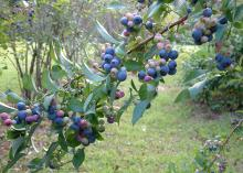Rabbiteye blueberries make up 80 to 90 percent of the Mississippi's blueberry crop. Recent dry weather has made harvesting easier than normal. (Photo by MSU Extension Service/File)