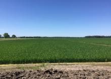 Mississippi's rice crop was mostly in good or excellent condition in early June. This field in Washington County, Mississippi was photographed June 8, 2016. (Photo by MSU Extension Service/Bobby Golden)