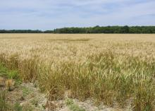 Mississippi's growers harvested about 80,000 acres of wheat and averaged 58 bushels per acre in 2016. These amber waves of grain are in a Coahoma County, Mississippi, field on May 23, 2016. (Photo by MSU Extension Service/Kevin Hudson)