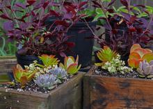 The use of succulents is a popular trend in the green industry. These plants with soft, juicy leaves and stems are good choices for low-water-use gardening. (Photo by MSU Extension Service/Gary Bachman)