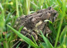Contrary to popular belief, handling toads does not cause warts. (Photo courtesy of Evan O'Donnell)