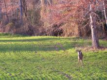 During lean times, food plots provide nutrients to help with antler development. (Photo submitted by MDWFP/Scott Edwards)