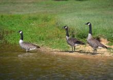 Canada geese, such as these in Raymond, can live in Mississippi almost year-round and are attracted to bodies of water and grassy areas, such as golf courses, lawns, parks and recently harvested grain fields. (Photo by MSU Ag Communications/Susan Collins-Smith)