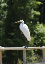 Great egrets, such as this one resting at the Sam D. Hamilton Noxubee National Wildlife Refuge in 2015, are not uncommon sights in Mississippi's state parks. The refuge is located in Noxubee, Oktibbeha and Winston counties. (File photo by MSU Extension Service/Kevin Hudson)