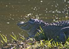 Alligators are protected by Mississippi law, so consult wildlife officials for guidance in removing these unwanted visitors from ponds and lakes. (File photo by MSU Extension Service/Kat Lawrence)