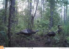 Game cameras can capture images of some of the most elusive wildlife and their babies. (Photo by MSU Extension Service/Jacob Dykes)
