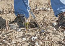 Soil health is the intersection of the physical, biological and chemical state of the soil. Healthy soil reduces the need for fertilizer and other inputs, reducing the cost of crop production. (Photo by MSU Ag Communications/Kat Lawrence)