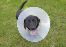 Dogs often must wear a cone on their collar to keep them from damaging wounds during recovery. (Photo by MSU Ag Communications/Kevin Hudson)