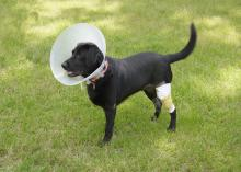 Siba, a 2-year-old lab mix, suffered cuts and abrasions when he was hit by a car in his own driveway. He was photographed in recovery May 6, 2015, in Starkville, Mississippi. (Photo by MSU Ag Communications/Kevin Hudson)