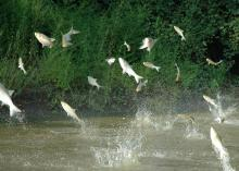 Asian carp pose a significant threat to the safety of anglers and recreational boaters. Noise from outboard motors stimulates schools of silver carp, causing them to jump out of the water. When this happens, boaters can find themselves traveling at high speed through a flying swarm of silver carp. (Submitted photo)